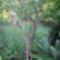 Túlkoros termő déligyümölcs, 2 m. felett 5 - sárga guava