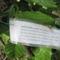 Túlkoros termő déligyümölcs, 2 m. felett - Arany mombinszilva