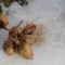 Császárfa decemberi maghullása