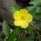 Turnera Umbofolia