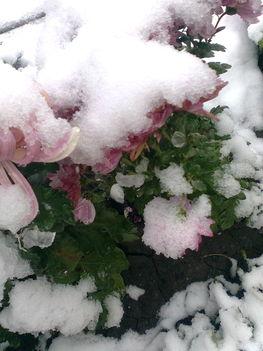 Krizantinok a hó alatt ...
