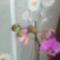 virágzó orchídeáim 10