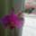 virágzó orchídeáim