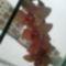 virágzó orchídeáim 17