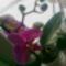 virágzó orchídeáim 5