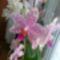 virágzó orchídeáim 6