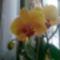 virágzó orchídeáim 7