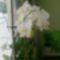 virágzó orchídeáim 9