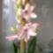 Rózsaszínű hajtatott jácintom_2013_január