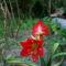 amariliszem első virágja