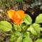 rózsa az örök kedvenc