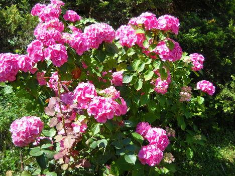 rózsaszín hortenzia