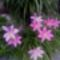 Egyik kedvencem,a Zefirvirág (Habranthus robustus)