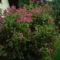 Ismét virágzik a Weigela bokor