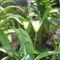 Törpe tulipánok 001