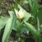 Törpe tulipánok 002