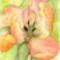 tulipán 1