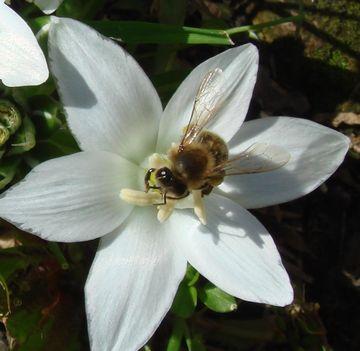 méhecske_01