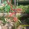 Jappan birs
