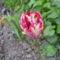 Tulipán 5