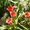 Tulipán 7