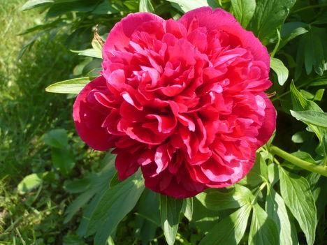 Pünkösi rózsa