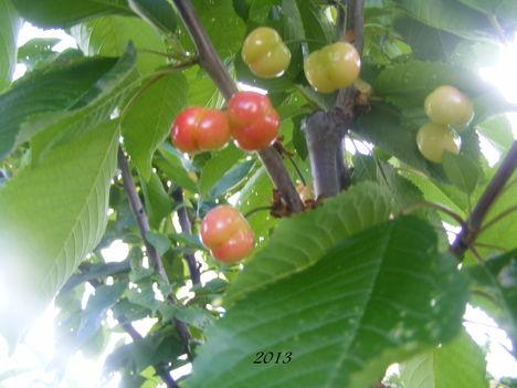 Májusi cseresznye