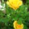 Mini-rózsa