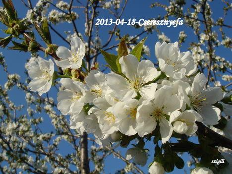 Virágzó cseresznye