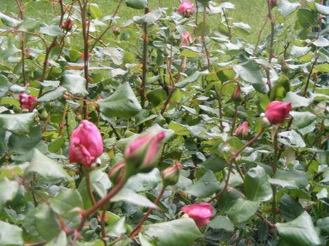 Rózsa bimbók