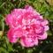 Pünkösdi rózsa