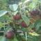 első termés a körtefán