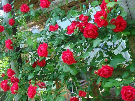 Rózsa 2
