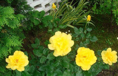 Rózsa 6