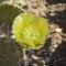 Opuntia Télálló kaktusz