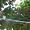 Fecskék a  császárfán
