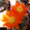 Kaktusdz virága