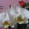 Orhidea3