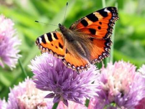 pillangok 5