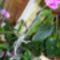 Orchideák és szaporításuk 2013 szept