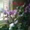 Virágzó orchideáim '13 06 24 004