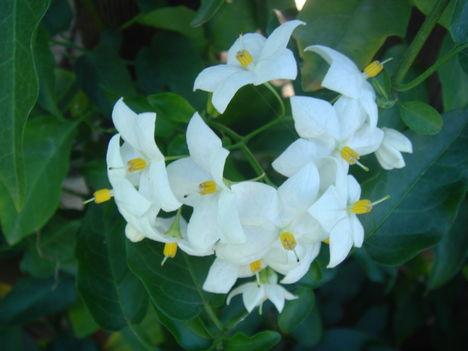 Kúszó jázmin virága