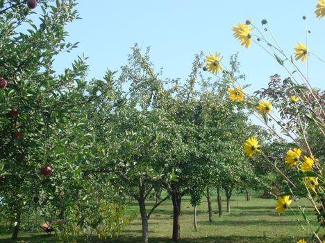 Gyümölcsfáink_2013-09-27