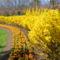 Canberra  tavaszi viragzas 1