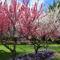 Canberra  tavaszi viragzas 2
