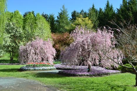 Canberra  tavaszi viragzas 3