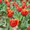 Canberra  tavaszi viragzas 4