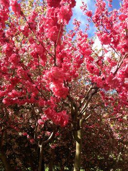 Canberra  tavaszi viragzas 6