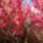 Canberra__tavaszi_viragzas_6_1416101_1558_t