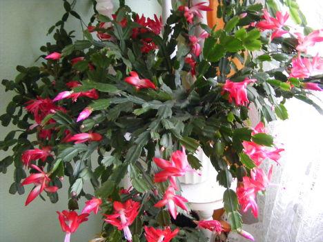 Kaktusz teljes virágzásban